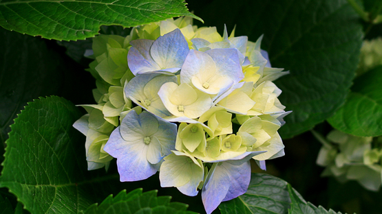 upload/37425/20181030/Hydrangeas57.jpg